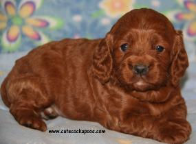 Red Cockapoo puppy from Cute Cockapoos