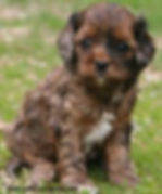 Red Merle Cockapoo from Cute Cockapoos in Wisconsin