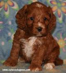 Red Tuxedo Pattern Cockapoo Puppy