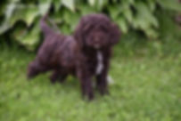 Cockapoo breeder Wisconsin