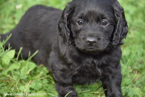 Black Cockapoo Puppies for Sale Cute Cockapoos Wisconsin