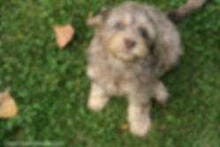 Chocolate Merle Cockapoo Puppies Cute Cockapoos Wisconsin
