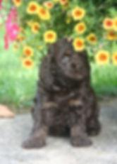 Chocolate Cockapoo Puppy Cute Cockapoos