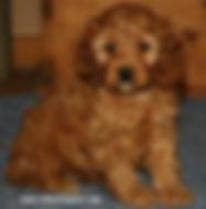 Cockapoo Puppies for Sale Cute Cockapoos