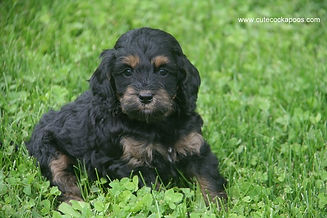 black and tan phantom Cockapoo
