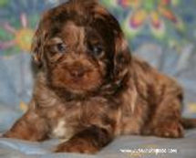 blue eyed chocolate merle Cockapoo