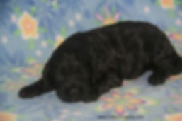 black Cockapoos for sale