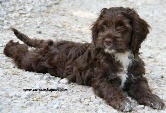 Chocolate Cockapoo white chest Wisconsin