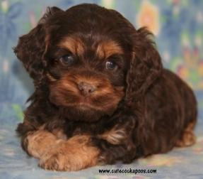 cute chocolate cockapoo