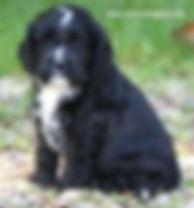 Cockapoo Puppies for Sale Cute Cockapoos in Wisconsin