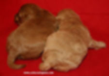Red and Apricot Cockapoo Puppies
