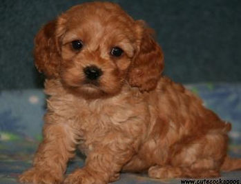 Apricot Female Cockapoo