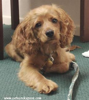 Cockapoo puppy from Cute Cockapoos