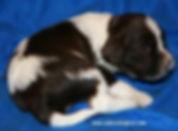 Chocolate and White Parti Cockapoo Puppy
