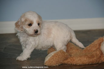 Buff and White Female Cockapoo