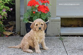 Apricot Cockapoo Puppies for Sale Cute Cockapoos Wisconsin