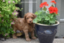 Red Cockapoo Puppies for Sale