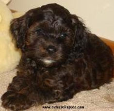 sable cockapoo