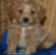 Buff Cockapoo Puppies for Sale Cute Cockapoos Wisconsin