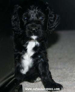 Black Cockapoo Puppy White Chest