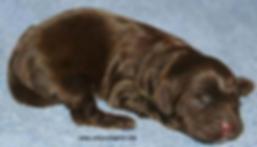 newborn chocolate cockapoo puppy