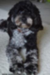 Merle Cockapoo Puppies Cute Cockapoos Wisconsin