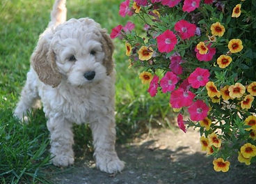 light buff Cockapoo puppy