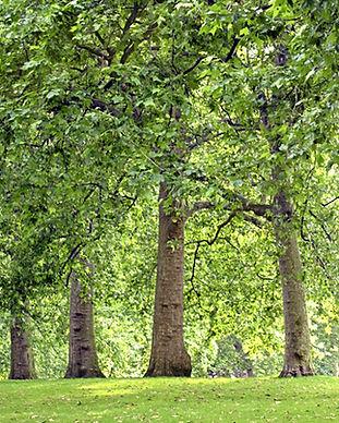 Park-Bäume