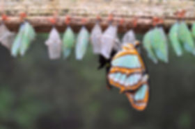 Butterfly with chrysalises.jpg