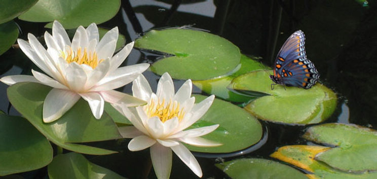 Butterfly and two lotus.jpg