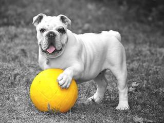 Seu cachorro é canhoto ou destro? Saiba como descobrir
