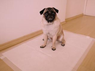 Tapete higiênico: Qual é o melhor para o seu cão?
