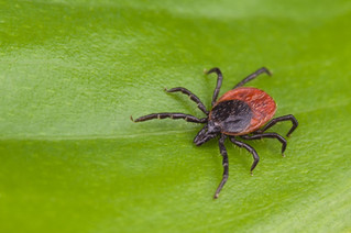 Lyme disease – protect yourself from ticks
