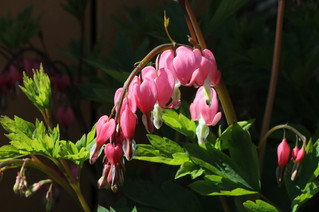 How to care for a bleeding heart
