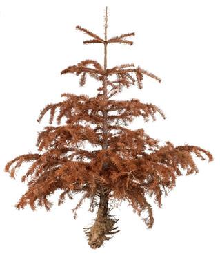 I pine fir you and balsam