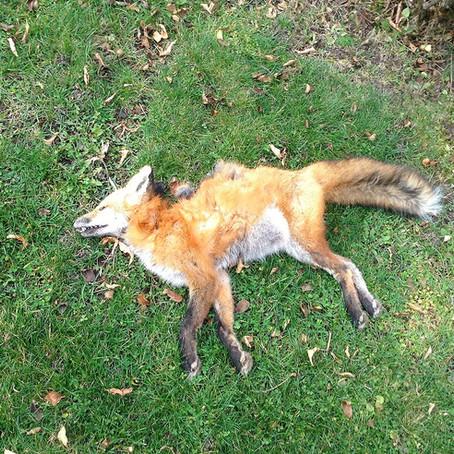 Fox dies after being shot in residential neighbourhood
