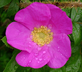 Stubborn roses