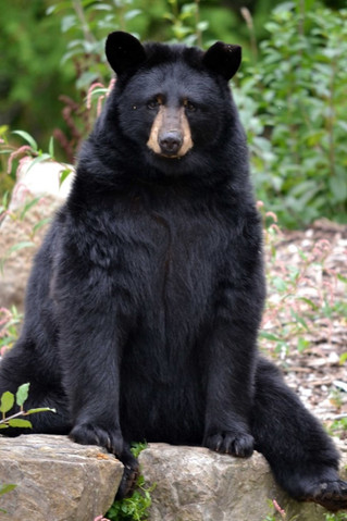 Juno the black bear passes away at Ecomuseum Zoo in Ste. Anne de Bellevue