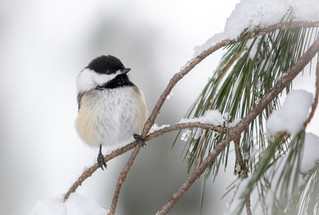 For the birds - Valiant chickadees