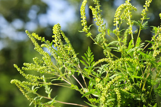 Vaudreuil-Dorion launches ragweed elimination campaign