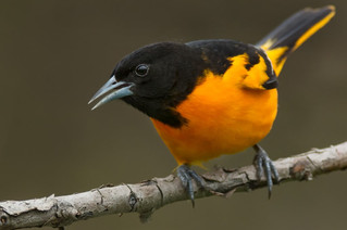 Coffee with Orioles