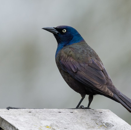Never underestimate the Grackle