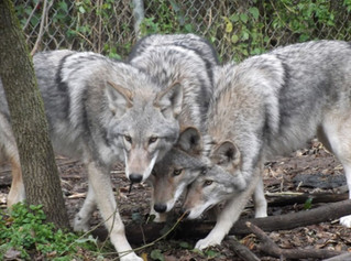 Pack of mysterious canines possibly on the hunt for deer in Vaudreuil-Soulanges region