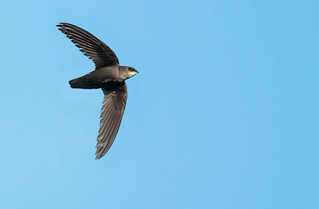 Chimney swifts lose another round