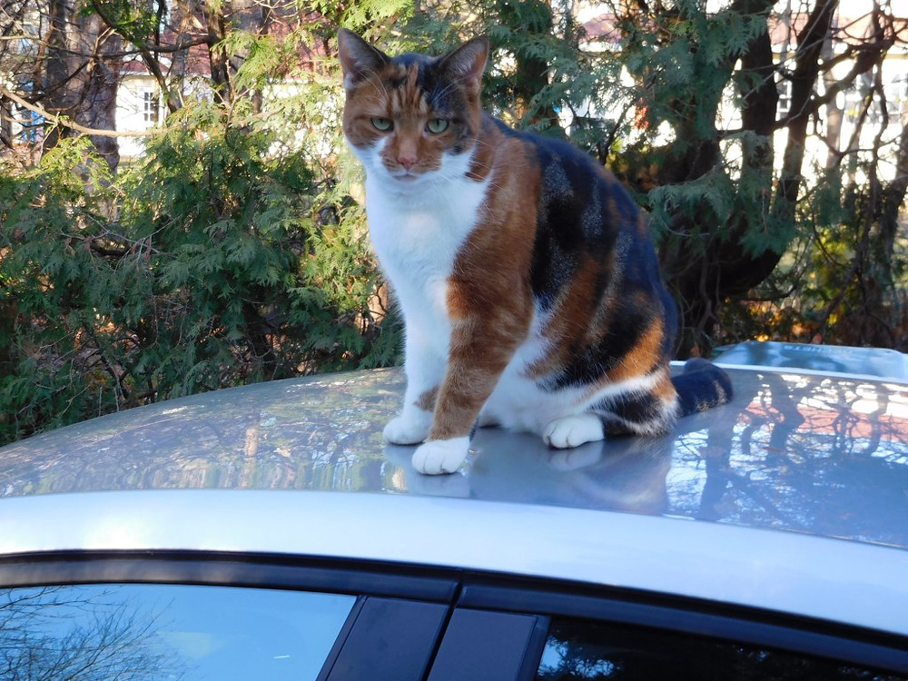 PHOTO BY JAMES PARRY Our neighbour's Calico cat atop our car in the driveway early one morning last week obviously taking a break from whatever she does the rest of the day.