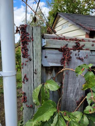 Vaudreuil-Dorion residents tackle Boxelder bug infestation