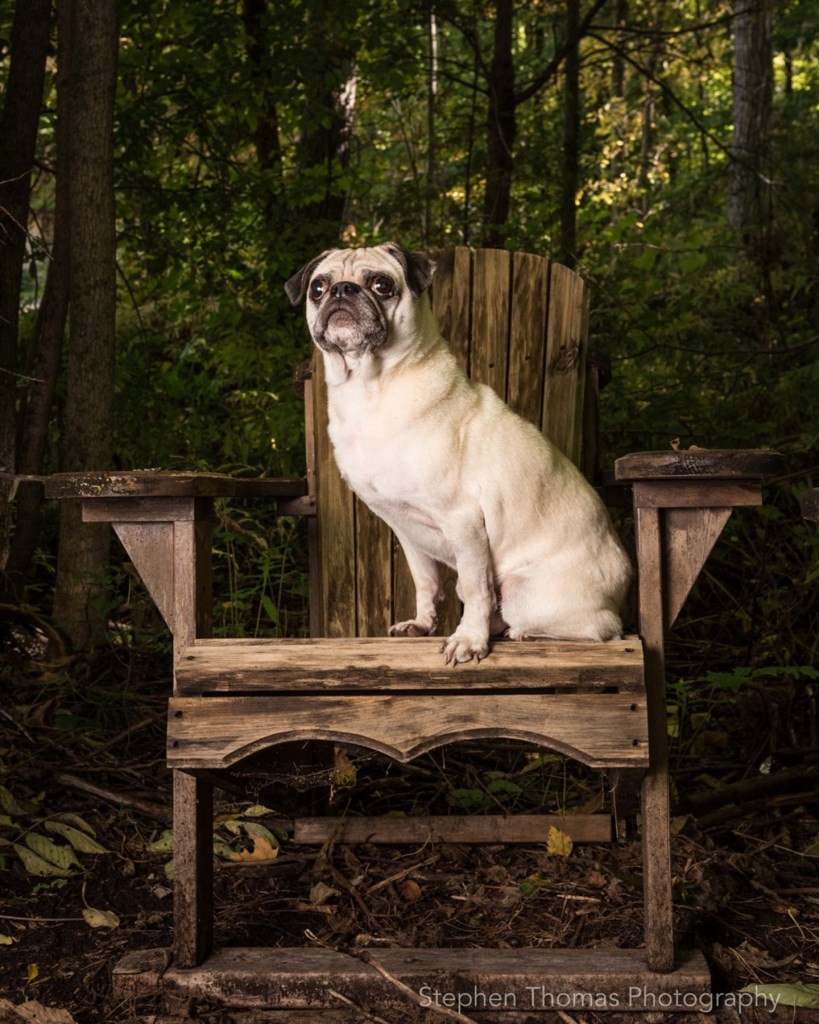 PHOTO BY STEVE THOMAS Winston, the pet Pug of Ozzie and Linda Voortman, posed perfectly for this portrait now framed and hanging on the wall of their Quarry Point home.