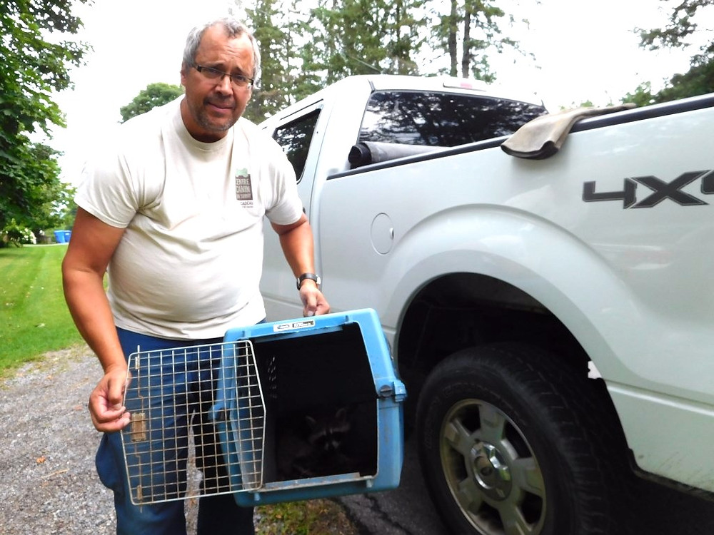 PHOTO BY JAMES PARRY Wildlife wonderman Richard Seymour of Animal Control Vaudreuil-Soulanges, shown here with a shy baby racoon he had just rescued, is the guy to call should you have a problem such as mine this past week.