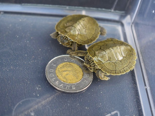 Mapping a safe road home for Northern Map Turtles