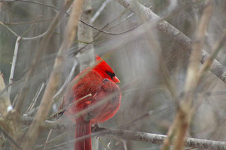 Hudson Christmas bird count